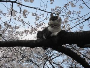 hanamineko at Ueno Park  2012.4  photo by y★u