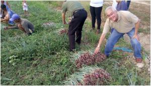 収穫した玉ねぎの検査